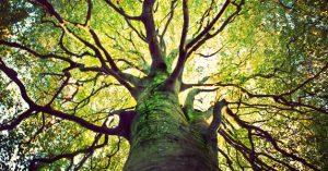 עץ בוגר